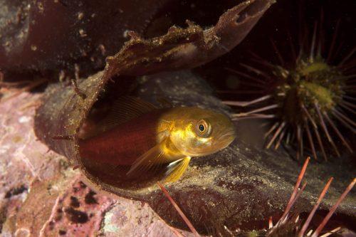 Sea Urchins, Kelp & Fish - credit Dr Vreni Häussermann