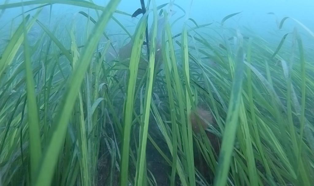 Seagrass underwater meadows